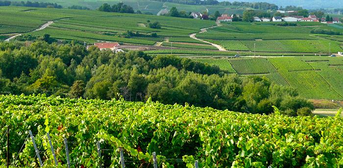 Image de vignes champenoise