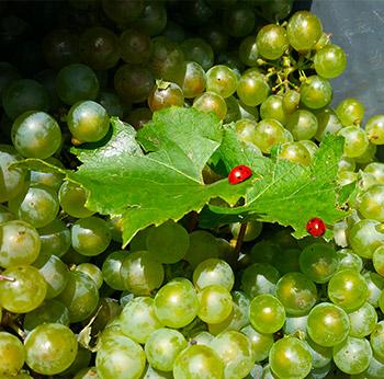 Image de raisins champenois